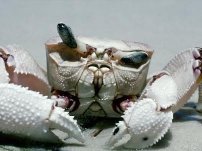 Crab, Shows Independent Eye Movement