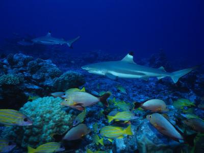 Blacktip Reef Sharks, Swimming, Polynesia