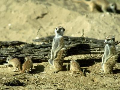 Meerkat (Suricate), Adults Watching Over Young Pups, Kalahari Gemsbok National Park