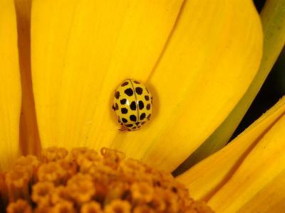 22 Spot Ladybird, Adult Hunting on Flower, Cambridgeshire, UK