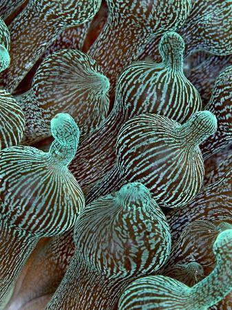 Sea Anemone Detail, Komodo, Indonesia