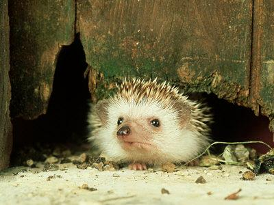 Four-Toed Hedgehog, England, UK