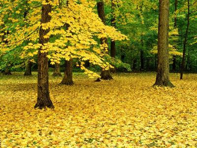 Maple Leaves and Trees in Fall Colour at Funks Grove, Il