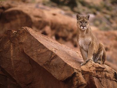 Mountain Lion in Canyonlands of Utah, USA
