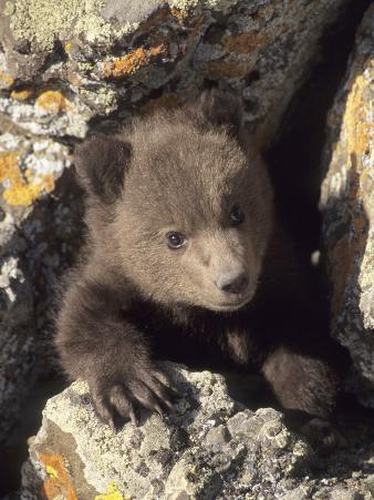 Grizzly Bear Cub Between Rocks, Montana, USA