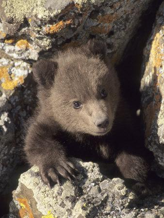 Grizzly Bear Cub Between Rocks, Montana, USA