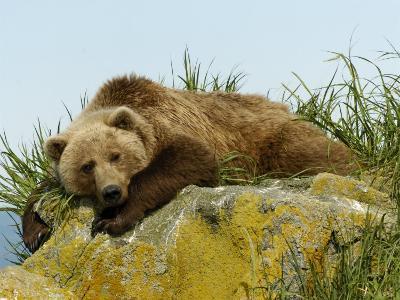 Alaskan Brown Bear, Alaska, USA