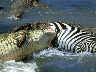 Nile Crocodile, Eating a Common Zebra, Masai Mara
