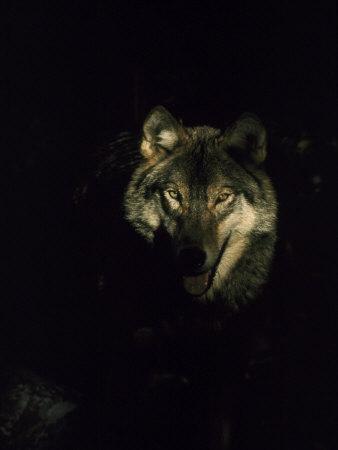 Timber Wolf, USA