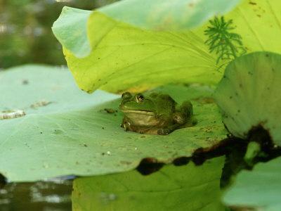 Bullfrog, Rana Catesbeiana on Lilypad