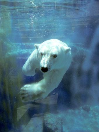 Polar Bear, Swimming Underwater, Quebec, Canada