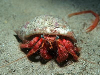 Hermit Crab, Gozo, Mediterranean