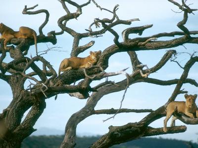 Lionesses in Dead Acacia Tree, Tanzania