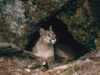 Mountain Lion, Female at Den, USA