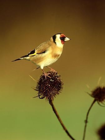 Goldfinch on Teasel, UK