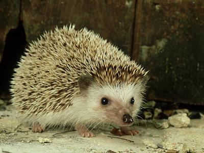 Four-Toed Hedgehog, England, UK