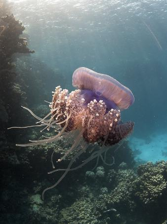 Jelly Fish, St. Johns Reef, Red Sea
