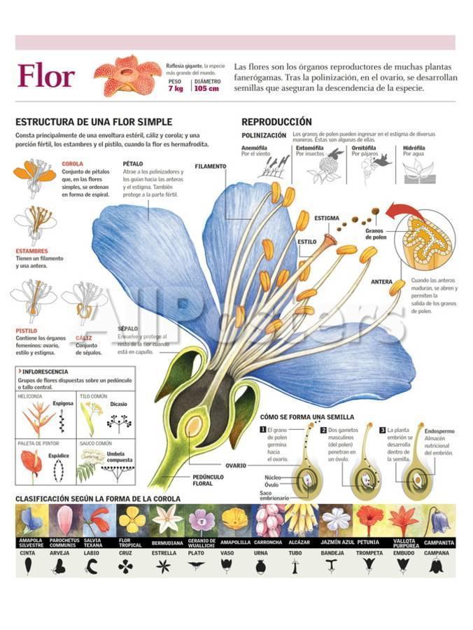 Infografía De Las Partes De La Flor Y Su Clasificación  Polinización Y La F