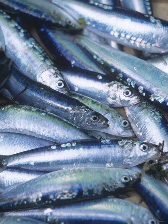 Freshly Caught Sardines (Brittany, France)