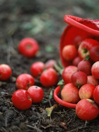 Red Apples Falling out of a Red Basket