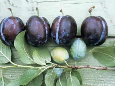 Ripe Damsons and Green Damsons on Branch