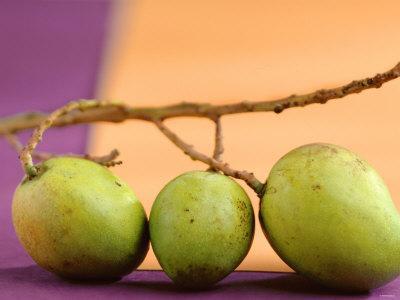 Three Green Mangos on a Branch