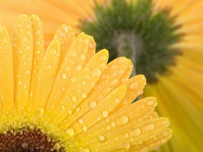 Yellow Gerbera with Drops of Water