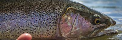 A Large Rainbow Trout Ready to Be Released on the Henry's Fork River in Idaho.