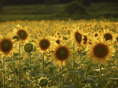 Beautiful Sunflower Field, Cape Elizabeth,Maine