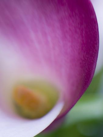 Calla Lily in Fuquay Varina, North Carolina