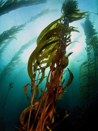 Channel Islands National Park, California: the View Underwater Off Anacapa Island of a Kelp Forest