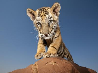 Portrait of a Bengal Tiger Cub Posing on a Rock Against a Blue Sky.  South, Africa.
