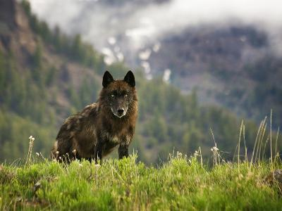 Canyon Pack Alpha Female Wolf of 2009
