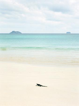A Marine Iguana Strolls Along the White Sand Beach on Isla Santa Cruz in the Galapagos Islands