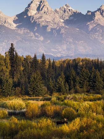 Bull Moose in Blacktail Ponds