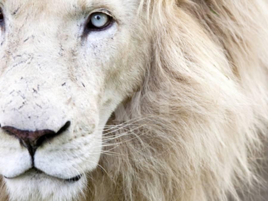 Full Frame Close Up Portrait of a Male White Lion with Blue Eyes ...