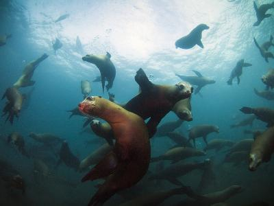 California Sea Lions  Swimming Underwater Off Anacapa Island.