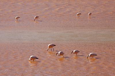 A Flock of Pink Andean Flamingos in Laguna Colorada, Sud Lipez Region, Southwestern Bolivia