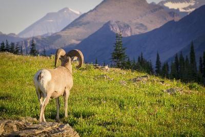 A Bighorn Sheep Pauses During Foraging on Logan Pass in Glacier National Park, Montana