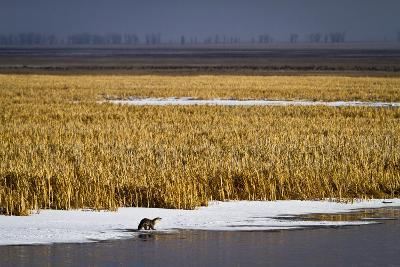An Otter Stands on Ice on Flat Creek in the National Elk Refuge Near Jackson, Wyoming