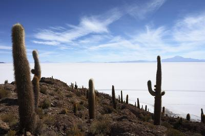 Echinopsis Atacamensis Cacti on Incahuasi Island, Salar De Uyuni , Bolivia