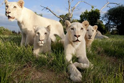 A Pride of Five Sub Adult White Lions Sit Int the Grass Against a Blue Sky in South Africa