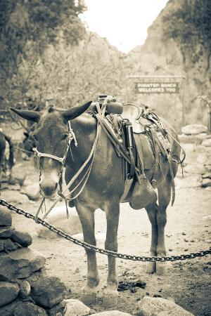 Portrait of Pack Mule at Phantom Ranch, Grand Canyon National Park, Arizona
