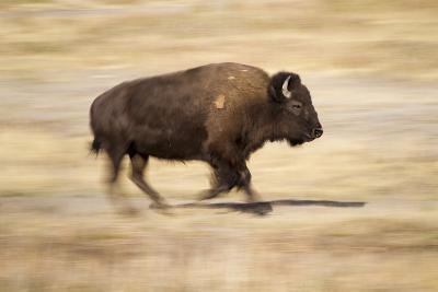 A Bison Runs Through Elk Ranch Flats in Grand Teton National Park, Wyoming