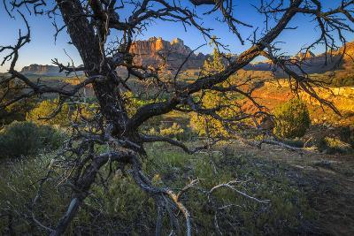 The Peaks of Zion National Park are Framed by a Pinyon Pine in Utah