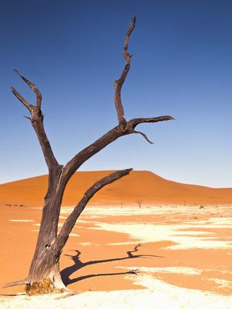 Camelthorn Tree in Dead Vlei, Namibia