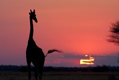 A Lone Giraffe in Silhouette Watches the Sun Set on the Horizon. Deception Valley, Botswana