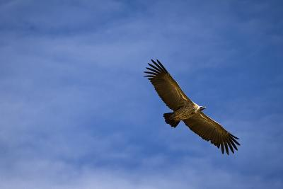 Vulture Against the Blue Sky in the Maasai Mara, Kenya
