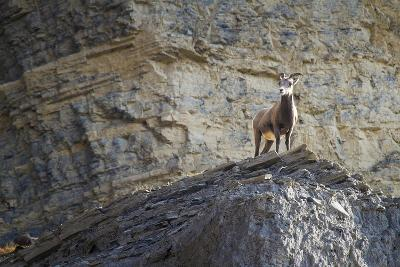 A Bighorn Sheep Ewe Stands on the Ledge of a Cliff in Yellowstone National Park