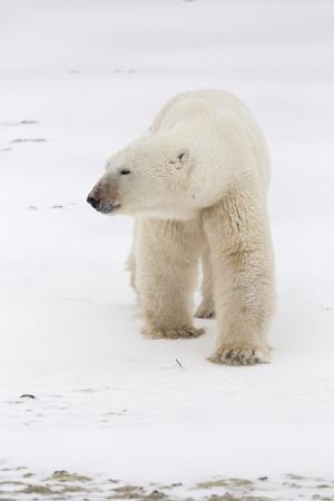 A Large Polar Bear Walks across a Frozen Lake Near Churchill, Manitoba, Canada